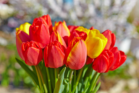 blossoming yellow flower tree: Bouquet of red tulips on a background of a blossoming garden.