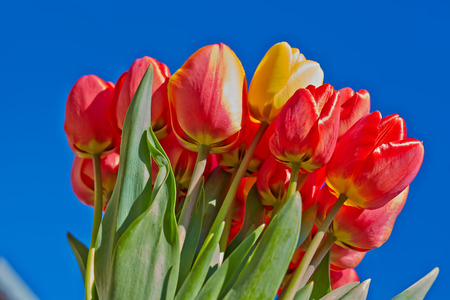 Bouquet of red tulips against a bright blue sky Stock Photo