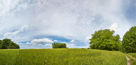 Wheat field and the road into the woods. Summer panoramic landscape.