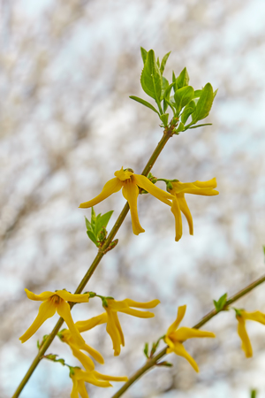 Forsythia against the background of a blossoming apricot