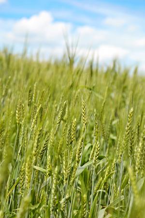 Green rye over blue sky background. Abstract nature background Reklamní fotografie