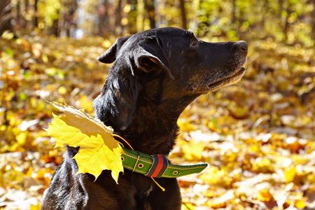 Black dog ( labrador) walking in autumn park. For his collar attached maple leaf.