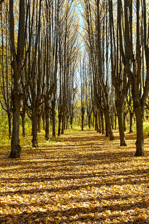 Beautiful alley in autumn park. Between the trees contrasting shade. Stock Photo
