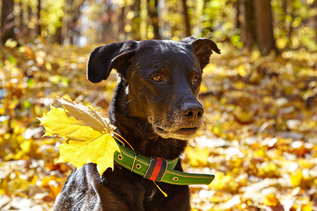 Portrait of Black dog in autumn park. For his collar attached maple leaf.
