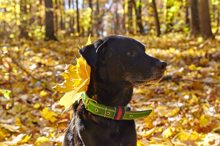 Black dog in autumn park. For his collar attached maple leaf. Stock Photo
