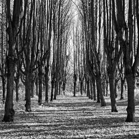 Beautiful alley in autumn park, monochrome photography. Between the trees contrasting shade.
