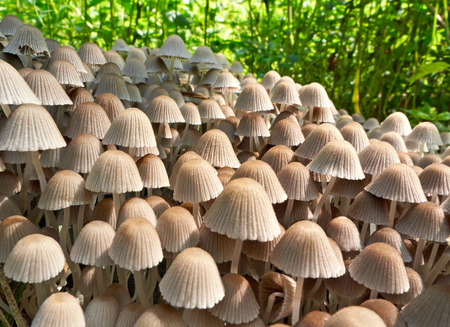 A colony of mushrooms toadstools on green grass background.