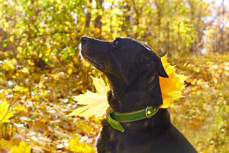 Black  labrador walking in autumn park. For his collar attached maple leaf. Contre-jour photo. Reklamní fotografie
