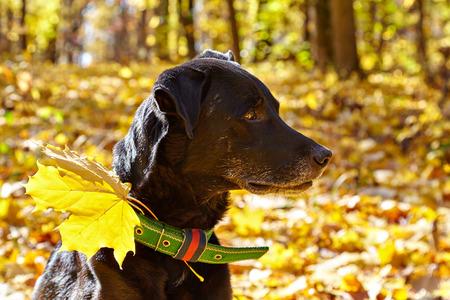 Black labrador walking in autumn park. For his collar attached maple leaf. Reklamní fotografie