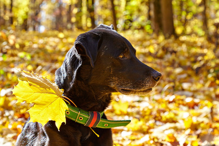 Black labrador walking in autumn park. For his collar attached maple leaf. Stock Photo