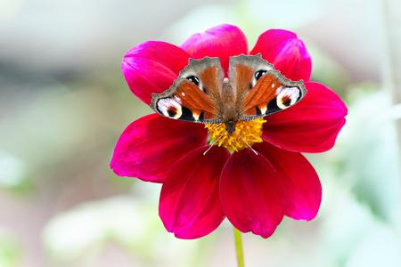 Butterfly European Peacock (Aglais io) on a red flower dahlia Reklamní fotografie