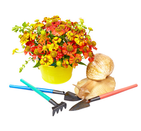 Red helenium in yellow basket and giant snail (Achatina Reticulata) with gardening tools on white background Reklamní fotografie