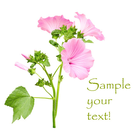 Beautiful pink flower (lavatera) isolated on white background Stock Photo
