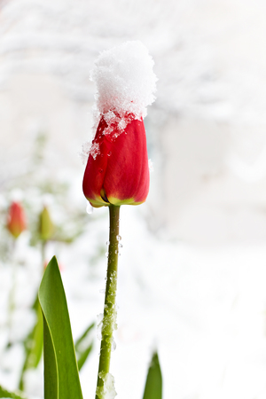 Tulip in the snow. On the flower is a hat made of snow. Snowfall in April. Reklamní fotografie