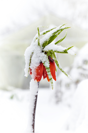 Lily (Fritillaria imperiali) under the snow. Snowfall in April Reklamní fotografie