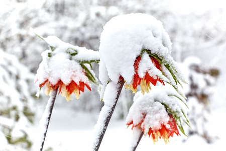 Lilies (Fritillaria imperiali) under the snow. Snowfall in April