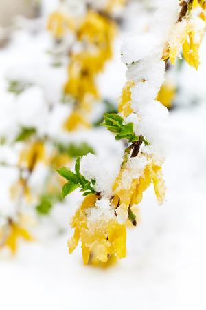 Forsythia is under the snow. Snowfall in April Reklamní fotografie