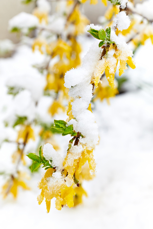 Yellow flowering branch (Forsythia) is under the snow. Snowfall in April