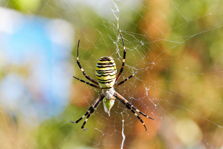 Striped spider (Argiope bruennichi, wasp spider) eats its prey in the net Фото со стока