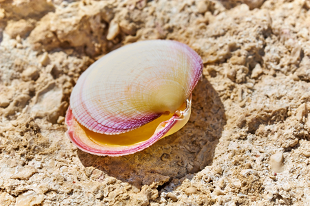 Beautiful colored shell on the shore of the Red Sea.