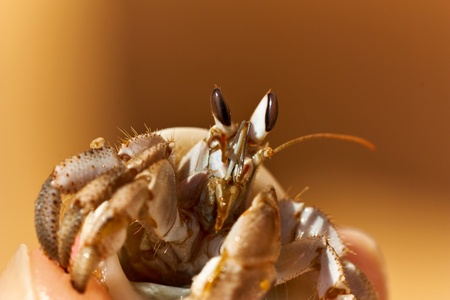Crab from the Red Sea, Egypt. Portrait close up.