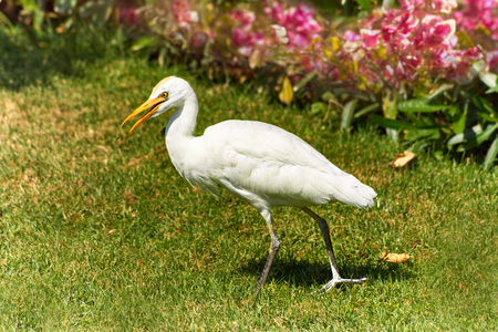 Western Cattle Egret, Bubulcus ibis walks on a lawn with green grass Reklamní fotografie