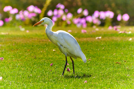 Western Cattle Egret ( Bubulcus ibis) walks on a lawn with green grass