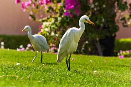 Couple of Western Cattle Egret  (Bubulcus ibis) walks on a lawn with green grass