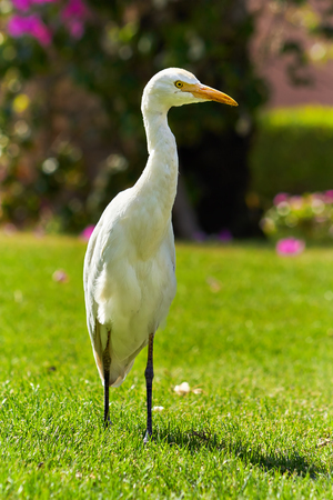 Western Cattle Egret (Bubulcus ibis) walks on a lawn with green grass. Bougainvillea in the background.