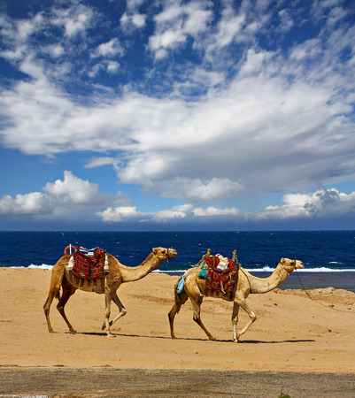 Beautiful sedentary camels on the shore of the Red Sea, Egypt. Reklamní fotografie