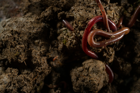 Close up macro photo group of earthworms that adventure and drill in fertile soil. Flash light made to show highlight and transparency of earthworms skin and how they challenges their life in soil.