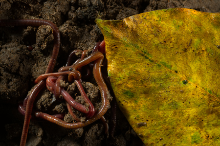 Close up macro photo group of earthworms that adventure and drill in fertile soil. Flash light made to show highlight and transparency of earthworm's skin and how they challenges their life in soil.
