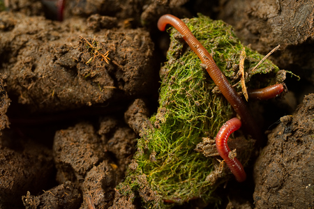 Close up macro photo group of earthworms in fertile soil with dry leaves from earthworm farm. Flash light made shine bright of earthworm's skin to show tube shape anatomy that make them look interesting. Banque d'images