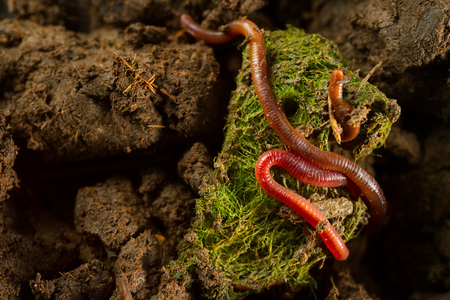 Close up macro photo group of earthworms in fertile soil with dry leaves from earthworm farm. Flash light made shine bright of earthworm's skin to show tube shape anatomy that make them look interesting. Foto de archivo