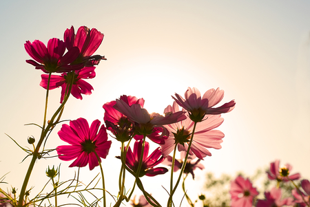 Low angle close up macro photo of Red Cosmos flowers in morning Sun. Warm solar in winter behind Cosmos flower made corolla translucent to show it's surface and change from red to pink flower.
