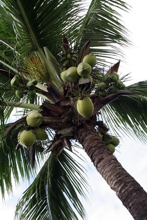 Coconut Tree (Cocos Nucifera) Stock Photo - 301332
