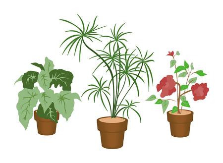 home accents: Decorating Plants - Dragon Tree, Rose of China, Rex Bigonia