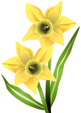 daffodils: Daffodil Flowers with Clipping Path