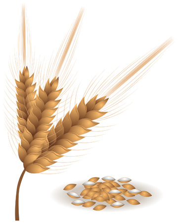 wheat illustration: Illustrazione di frumento con Clipping Path