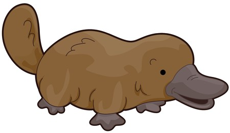 Platypus Walking to the Right Isolated against White Background  photo