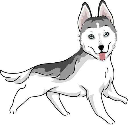 dog sled: Illustration Featuring a Siberian Husky