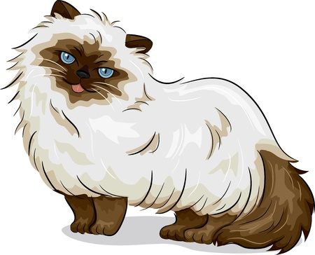 himalayan cat: Illustration of Himalayan Cat