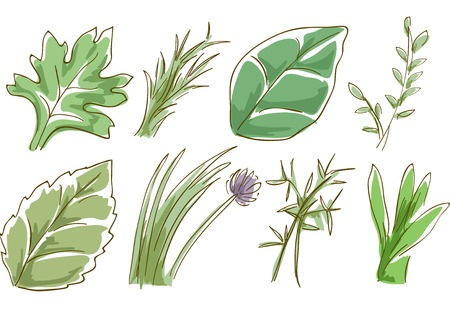 basil leaf: Sketchy Illustration Featuring Different Herbs Illustration