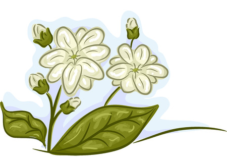 remedies: Illustration of a Bunch of Jasmine Flowers in Full and Mid Bloom