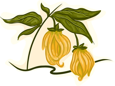 stalk flowers: Illustration of an Ylang-ylang Stalk with Flowers in Full Bloom