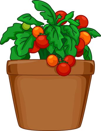 tomate cherry: Ilustración de una planta de tomate en maceta que se cultivan Interior Foto de archivo