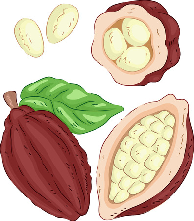 expose: Illustration of a Cacao Fruit with the Seeds Exposed