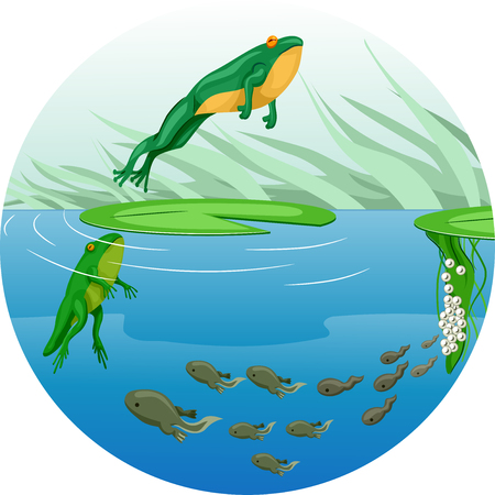 tadpole: Cute Animal Illustration Featuring the Life Cycle of a Frog Starting from a Tadpole to a Full Grown Adult