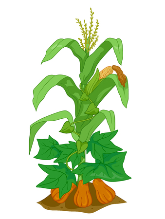 Illustration of Corn, Pumpkin and Bean Plants Planted Together as Companions Stock Photo