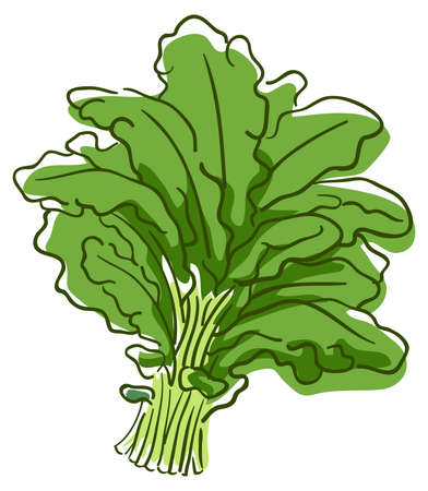 Illustration of a Bunch of Kale, a Superfood Vegetable